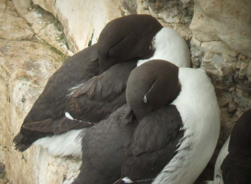 Guillemot and Bridled Guillemot at Bempton Cliffs