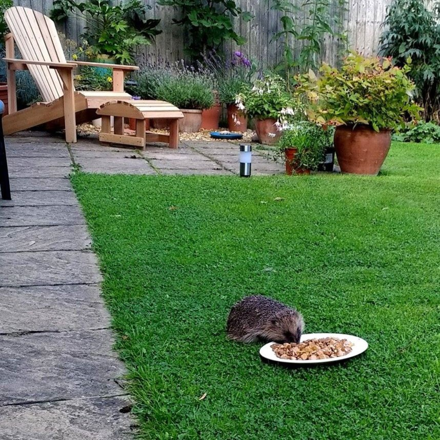 Hedgehog in garden eating from a plate