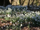 Click here to view the 'Snowdrop Walk GB' album