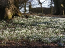 Yet More Snowdrops