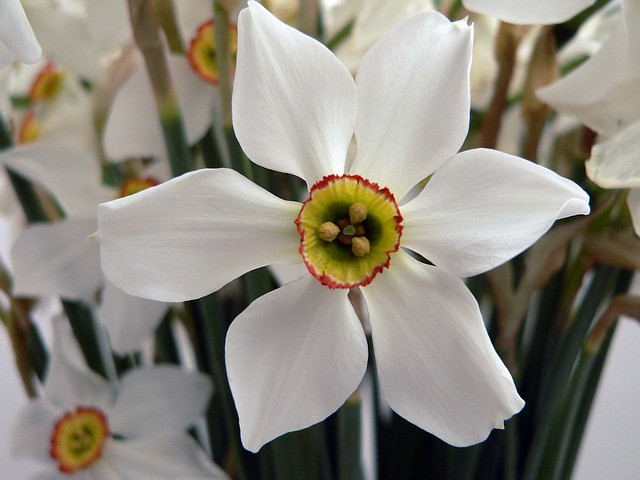 Picture of Pheasant's Eye daffodil