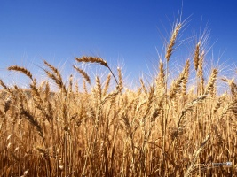 Picture of ripe wheatfield