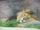 Lazy Lion at Colchester Zoo