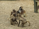 Monkeying around at Colchester Zoo