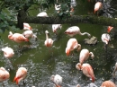 Flamingos cooling their toes in the heat of the day at Colchester zoo.