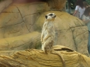 Meerkat keeping look-out at Colchester Zoo