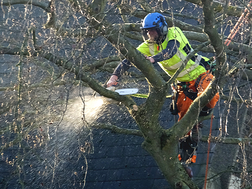Felling the beech tree
