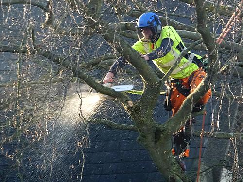 Felling the beech tree