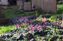 Cyclamen creeping over the grass