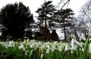Snowdrops cover a large part of the churchyard