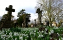 Snowdrops nestling among the graves