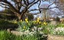 Snowdrops and early daffodils