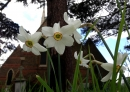 Some of the narcissi planted for the 150th Anniversary