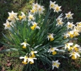 Daffodils blowing in the wind (courtesy of Clive Beaumont)