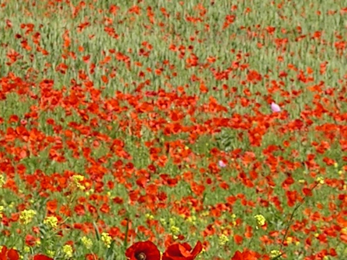 The fields of poppies in Luddesdown