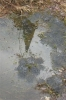 Reflection of Spire in frogspawn - filled pond.