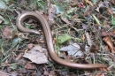 A slowworm - found in the compost bin.