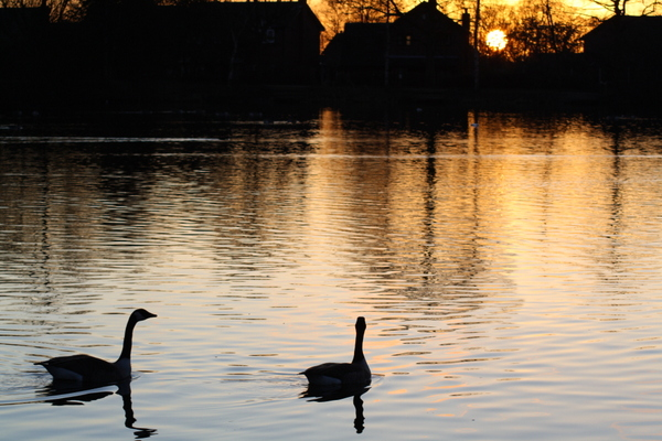 image of swans on a pond at dusk