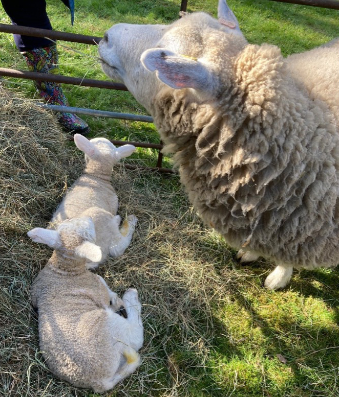 Sheep: Easter Sunday in Rotherwick from Marion