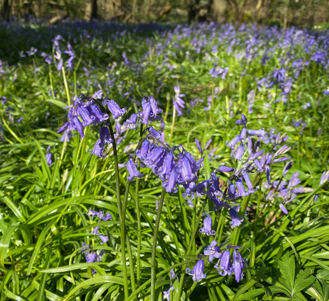 Bluebells in Hook