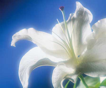Picture of a lily