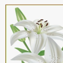 Open Easter lilies