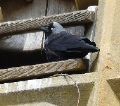Jackdaws in the bell tower