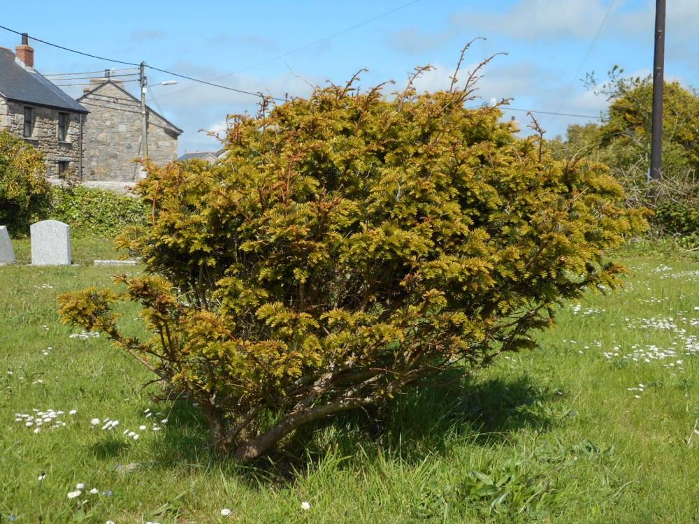 St Buryan's Millennium Yew Tree