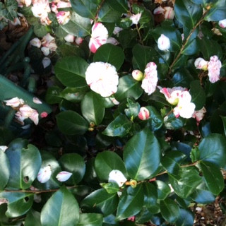 Pink striped camellia