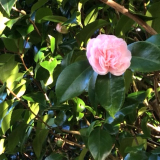 ...and a beautiful pink camellia.