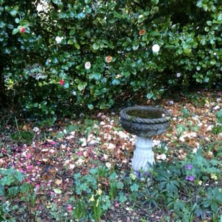 Birdbath surrounded by lovely camellias