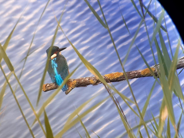 Kingfisher at Old Moor RSPB