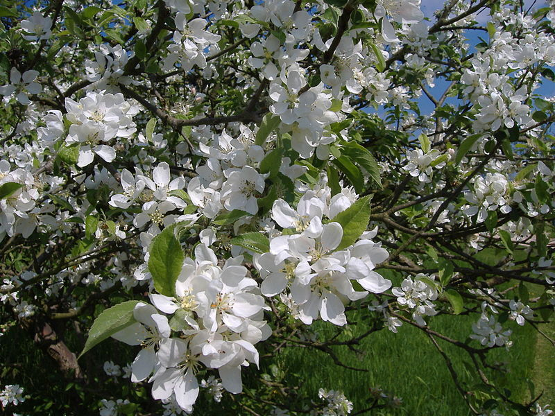 Apple blossom in University Park (mattbuck)