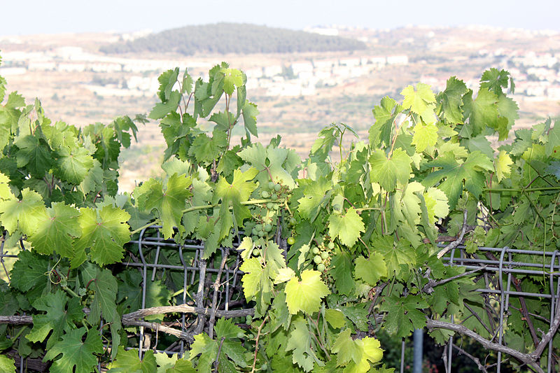 A Vineyard - Flora of Israel (Yair Aronshtam)