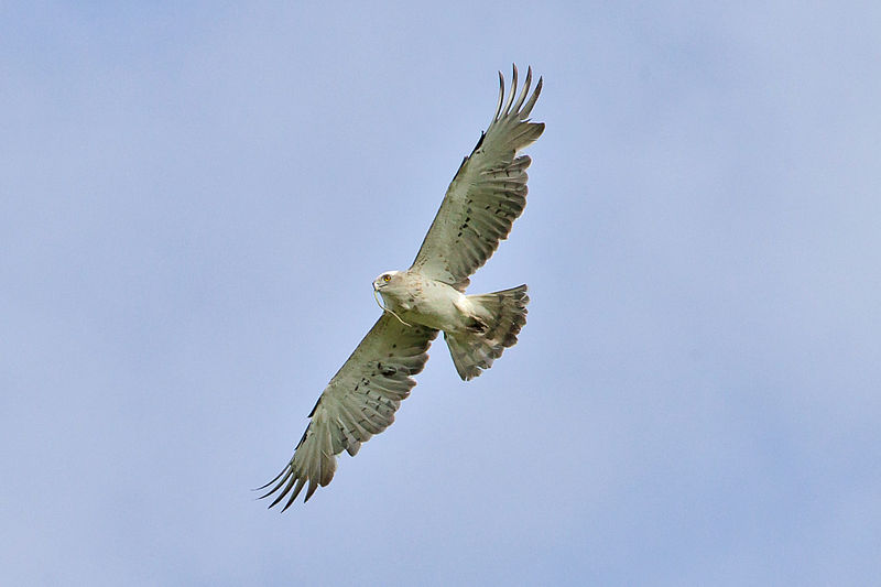 An eagle in flight