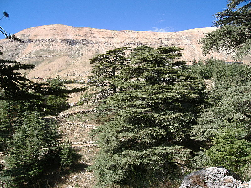 Cedar of Lebanon (Robert Judge)