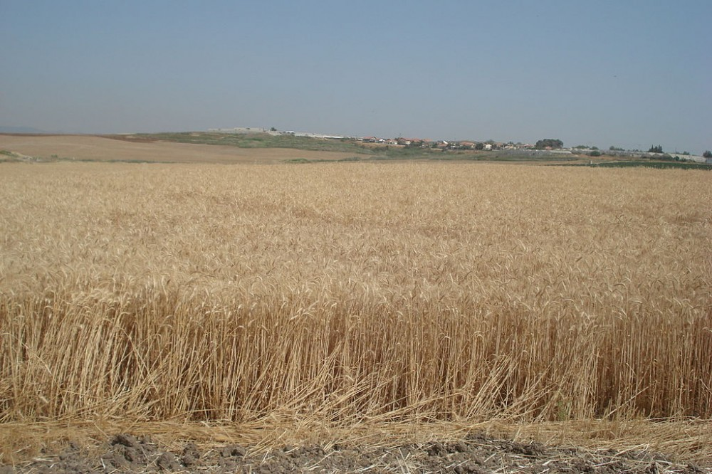 A wheat field in the Negev Desert