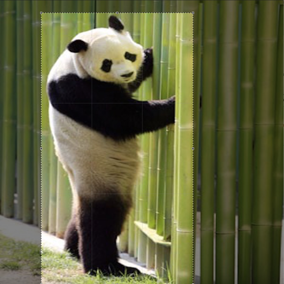 Image of a panda - image in crop mode