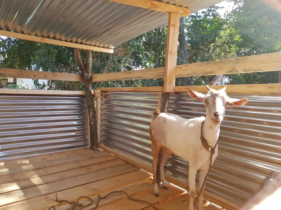 Goat in Shed