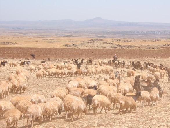 Kez sheep