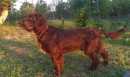 Open Superb fully trained deer dog ( Wachtelhund )