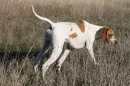 Open Superb English Pointer