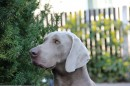 Open 'A SUPERB WEIMARANER LITTER'
