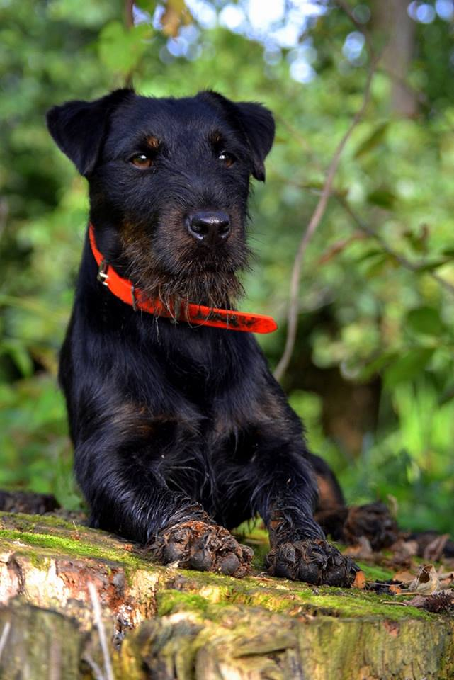 Small Hunting Dogs Breeds