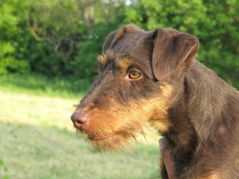 Trained Hunting Dogs For Sale Uk