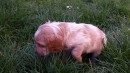 Open Wachtelhund Pups ( German hunting spaniel )